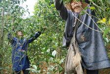 Cueillette des Shen Tai Wang Bing