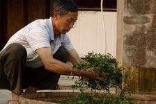 Travail artisanal des feuilles de Shen Tai Cha à la ferme