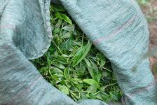 Tea leaves freshly picked Xie Bang