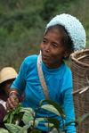 tea pickers Blang Bang Xie