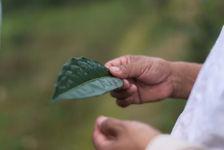 Large sheets tea Bang Xie