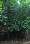 Old tea trees Bang Xie