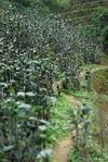 Tea Garden in Bang Xie