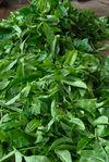 Fresh leaves Bang Xie