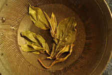 Example maoha old- containing buds and older leaves Copyright Sébastien Vacuithé