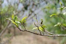 Feuille de thé sur l'arbre