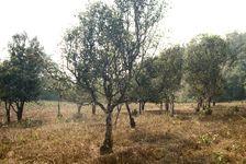 tea trees in Zhenyuan