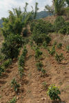 just planted Bing Dao Very young trees