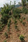 Très jeunes arbres tout juste plantés à Bing Dao