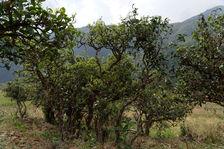 Vieux théier à Nanpo