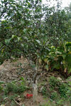 Vieil arbre à Nuowu