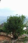 Vieil arbre à thé à Gong Nong