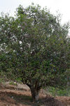 Vieux arbres à Nanmei