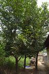 Vieux théiers dans un jardin de Da Xing