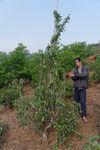 Young wild tea tree in the garden of Li Wen Quan
