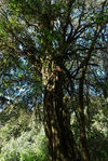 Gigantic tree that emerges from the Da Xue Shan drill