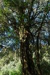 Gigantesque arbre qui émerge de la foret de Da Xue Shan