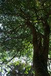 Big wild tea tree in the forest of Da Xue Shan