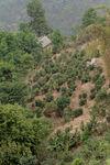 junior trees in Xiao Hu Sai
