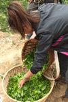 Li Cai dans les jardins à thé