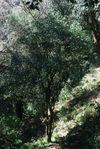 Wild Tea Tree in Da Xue Shan drill