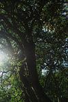 Large wild tea tree in Da Xue Shan