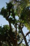 Wild Tea Tree in the forest Da Xue Shan