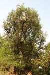 Vieil arbre à thé à Bing Dao