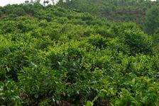 Tea Garden in Da Sai Hu