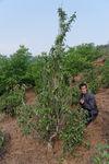 Wild Tea Garden Li Wen Quan