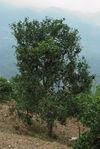 Gros arbre à thé à Bing Dao