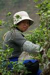 Cueillette des arbres anciens à Bing Dao