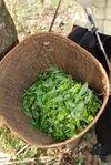 Bing Dao le village où les feuilles valent de l'or