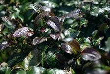 Feuille de théier violet sur un arbre à Yi Wu