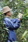 Cueillette des arbres chez Wang Bing