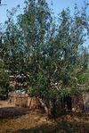 Exemple de très gros arbre à thé dans la région de Pu Er