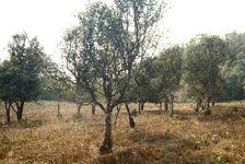 Jardin d'arbres anciens dans la région de Pu Er