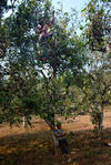 Cueillette des gros arbres dans la région de Pu Er