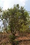 Big isolated tea tree