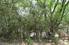 old tea garden