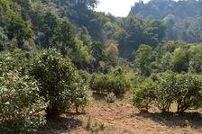 old trees in Yi Wu