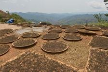 Maocha drying in the sun in Phongsaly
