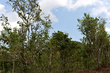 Vieux arbres à Phongsaly