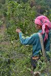 Cueillette des vieux arbres à Phongsaly