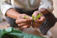 Leaf fresh Phongsaly