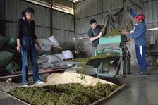 Travail industriel des feuilles dans une usine de Phongsaly