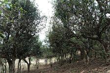 Old trees Nanmei