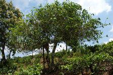 Old tree in Bulang Shan