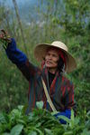 Picking leaves Bulang Shan