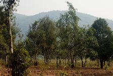 Old trees Pu Er